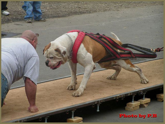 Big American Bulldog Images & Pictures - Becuo